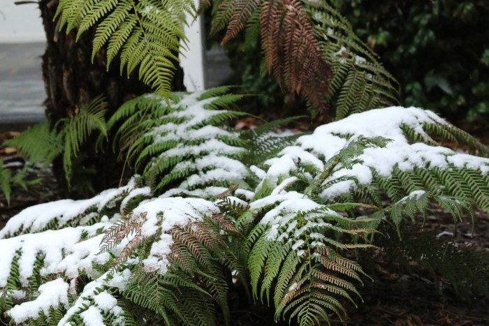 A light dusting of snow covers some ferns living just outside of rooms to stay in Armidale