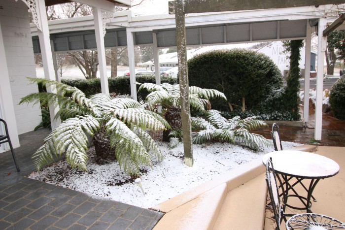 Snow is covering ferns outside of rooms at Moore Park Inn Armidale