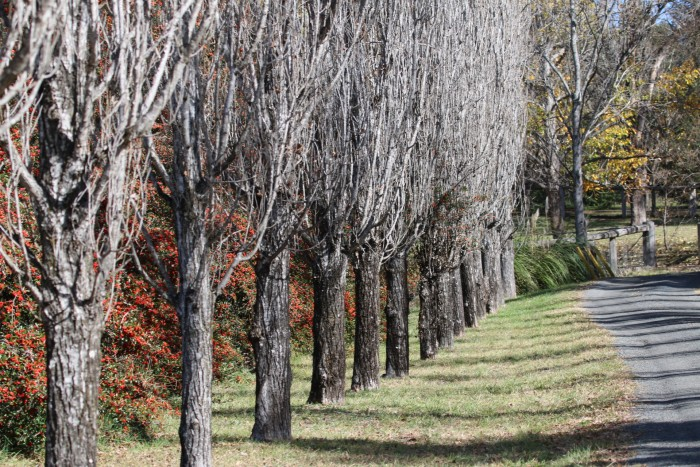 A stretch of of trees line the side of a road that leads to accommodation at Moore Park Inn Armidale.