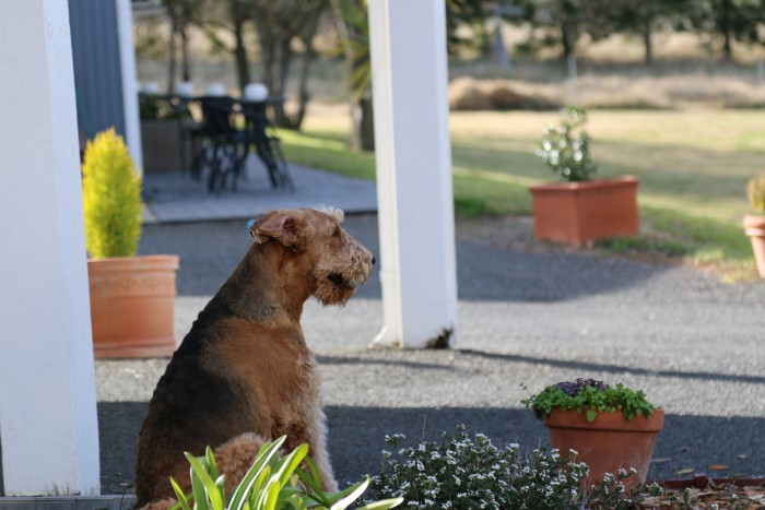 A brown dog is sitting down like a good boy and looking at people looking for places to stay in Armidale