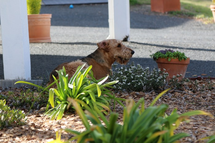 A happy brown dog is sitting in the garden outside of accommodation in Armidale