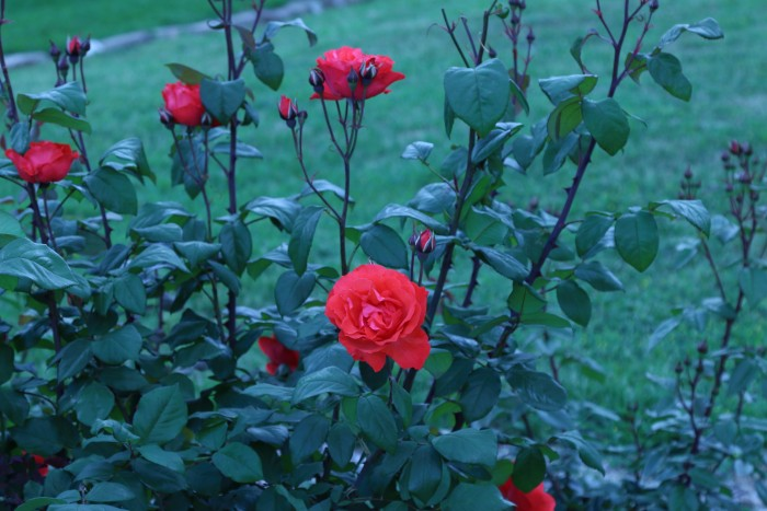 Red roses blooming outside of a room in Armidale's Moore Park Inn, boutique accommodation