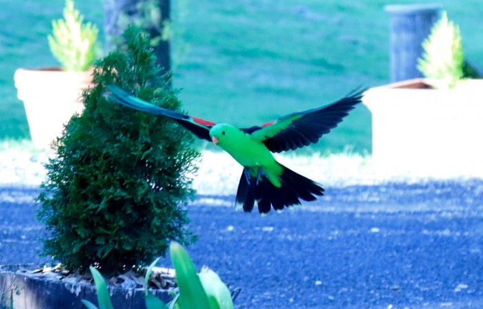 A green parrot in flight, a typical sight outside the rooms at Moore Park Inn, boutique accommodation in Armidale.