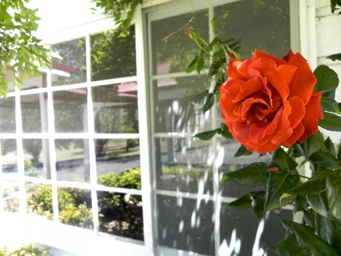 A gorgeous red rose flowers in Armidale, in front of some boutique accommodation at Moore Park Inn