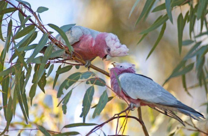 Pink Galahs In A Gum Tree In Armidale